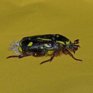 Chlorobapta frontalis at Brogo, NSW - 8 Jan 2015