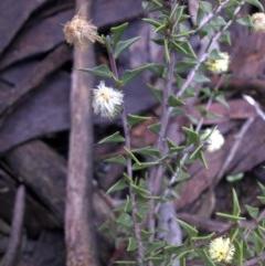 Acacia gunnii (Ploughshare Wattle) at Mount Ainslie - 11 Sep 2016 by SilkeSma
