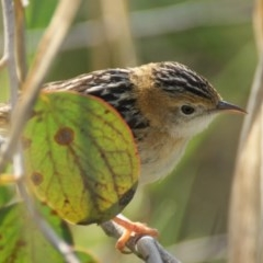 Cisticola exilis (Golden-headed Cisticola) at Jerrabomberra Wetlands - 7 Sep 2016 by roymcd