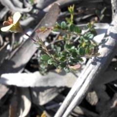 Bossiaea buxifolia (Bush Pea) at Mount Ainslie - 12 Sep 2016 by SilkeSma