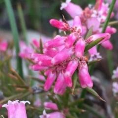Lissanthe strigosa subsp. subulata at Wandiyali-Environa Conservation Area - 13 Sep 2016