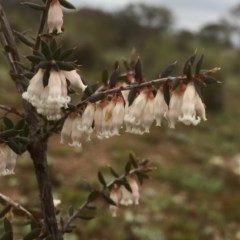 Leucopogon fletcheri subsp. brevisepalus (Twin Flower Beard-Heath) at Wandiyali-Environa Conservation Area - 12 Sep 2016 by Wandiyali