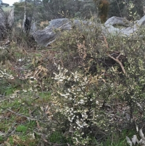 Leucopogon fletcheri subsp. brevisepalus at Wandiyali-Environa Conservation Area - 13 Sep 2016