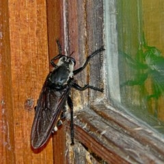 Blepharotes coriarius (Giant yellow robber fly) at Brogo, NSW - 21 Feb 2005 by MaxCampbell