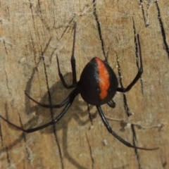 Latrodectus hasselti (Redback Spider) at Conder, ACT - 8 Feb 2016 by michaelb