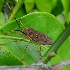 Poecilometis strigatus (Gum tree shield bug) at Brogo, NSW - 21 Mar 2012 by MaxCampbell