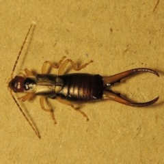 Forficula auricularia (European Earwig) at Conder, ACT - 10 Oct 2015 by michaelb