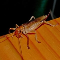 Paragryllacris combusta (Raspy Cricket) at Brogo, NSW - 22 Nov 2006 by MaxCampbell