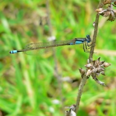 Ischnura heterosticta (Common Bluetail) at Brogo, NSW - 29 Feb 2008 by MaxCampbell