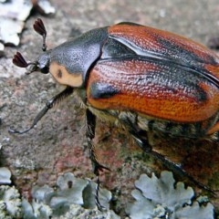 Chondropyga dorsalis (Cowboy beetle) at Brogo, NSW - 21 Jan 2007 by MaxCampbell