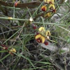 Daviesia genistifolia (Broom Bitter Pea) at Ainslie, ACT - 18 Sep 2016 by SilkeSma