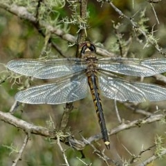 Hemicordulia tau (Tau Emerald) at Brogo, NSW - 6 Oct 2010 by MaxCampbell