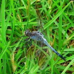 Orthetrum caledonicum (Blue Skimmer) at Brogo, NSW - 29 Feb 2008 by MaxCampbell
