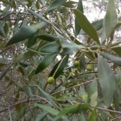 Olea europaea subsp. cuspidata (African Olive) at Mount Mugga Mugga - 17 Sep 2016 by Mike