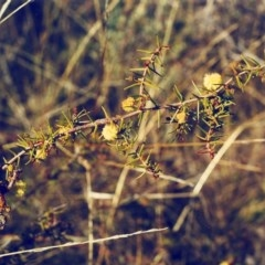 Acacia ulicifolia (Prickly Moses) at Conder, ACT - 10 Aug 2000 by michaelb