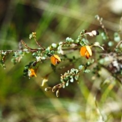 Bossiaea buxifolia (Matted Bossiaea) at Conder, ACT - 30 Oct 1999 by michaelb