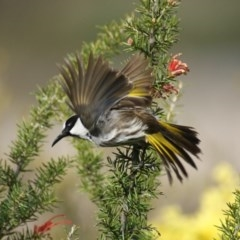 Phylidonyris niger (White-cheeked Honeyeater) at Jerrabomberra Wetlands - 14 Sep 2016 by roymcd