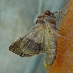 Chrysodeixis subsidens at Brogo, NSW - 26 Feb 2011