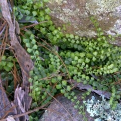 Asplenium flabellifolium (Necklace fern) at Isaacs Ridge and Nearby - 19 Sep 2016 by Mike