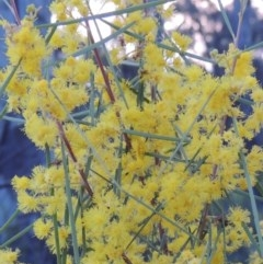 Acacia boormanii (Snowy River Wattle) at Stranger Pond - 24 Sep 2016 by michaelb
