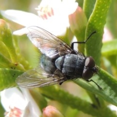 Calliphoridae (family) (Unidentified blowfly) at Conder, ACT - 24 Sep 2016 by michaelb