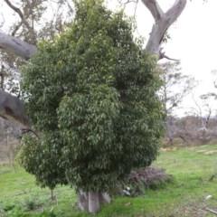Brachychiton populneus subsp. populneus (Kurrajong) at Callum Brae - 25 Sep 2016 by Mike