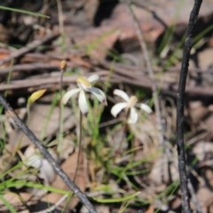 Caladenia ustulata (Brown caps) at Black Mountain - 28 Sep 2016 by petersan