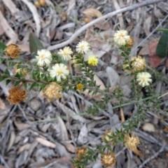Acacia gunnii (Ploughshare Wattle) at Black Mountain - 27 Sep 2016 by galah681