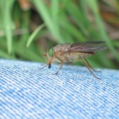 Scaptia testacea (March fly) at Brogo, NSW - 13 Nov 2004 by MaxCampbell