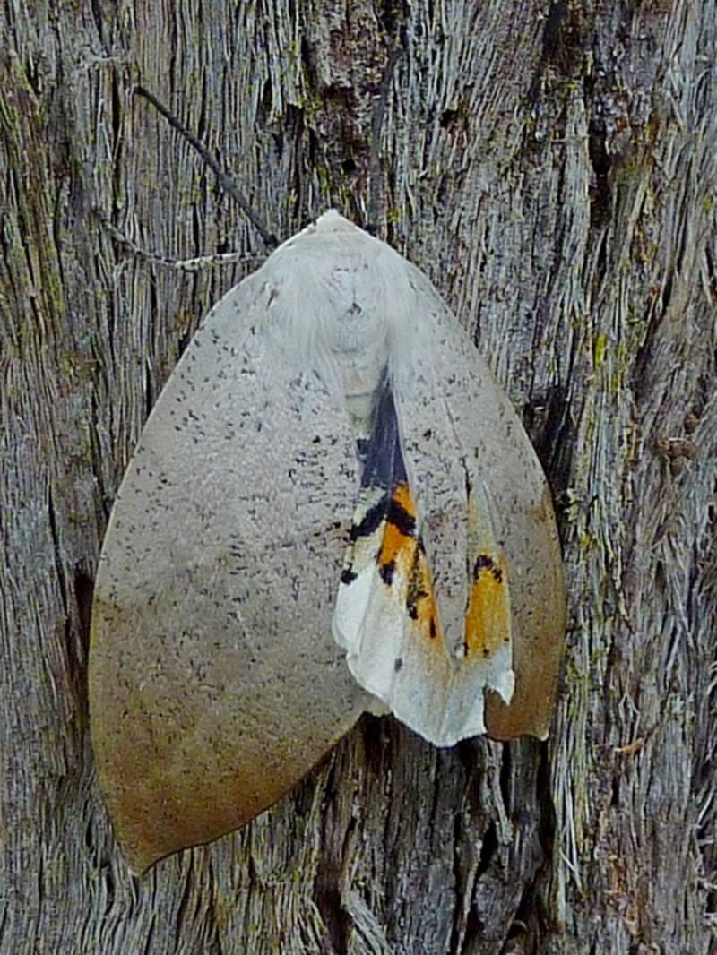 Gastrophora henricaria at Brogo, NSW - 13 Dec 2010