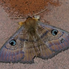 Dasypodia selenophora (Granny Moth or Southern Old Lady Moth) at Brogo, NSW - 5 Oct 2008 by MaxCampbell