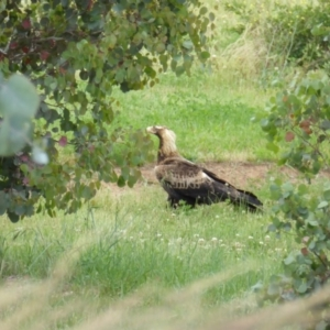 Aquila audax at Sth Tablelands Ecosystem Park - 17 Nov 2015