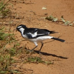 Grallina cyanoleuca (Magpie-lark) at Sth Tablelands Ecosystem Park - 15 Feb 2016 by AndyRussell