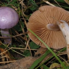 Cortinarius alboviolaceus (Cortinarius alboviolaceus) at Brogo, NSW - 25 Jun 2006 by JackieMiles