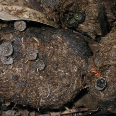 Cyathus stercoreus (Bird's nest fungus) at Brogo, NSW - 10 Sep 2006 by JackieMiles