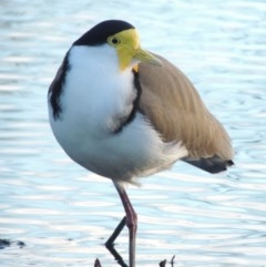 Vanellus miles (Masked Lapwing) at Commonwealth & Kings Parks - 30 Jul 2016 by michaelb
