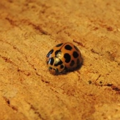 Harmonia conformis (Common Spotted Ladybird) at Conder, ACT - 3 Oct 2015 by michaelb