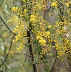 Acacia pravissima (Wedge-leaved Wattle) at Namadgi National Park - 24 Sep 2016 by KenT