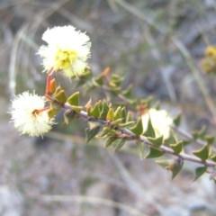 Acacia gunnii (Ploughshare Wattle) at Mount Taylor - 30 Aug 2008 by MatthewFrawley