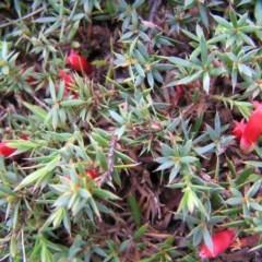 Astroloma humifusum (Cranberry heath) at Mount Taylor - 17 Mar 2012 by MatthewFrawley