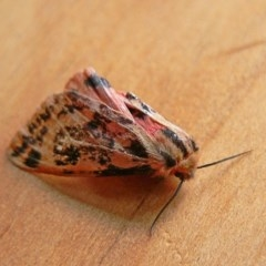 Spilosoma curvata (Crimson Tiger Moth) at Brogo, NSW - 26 Feb 2012 by MaxCampbell