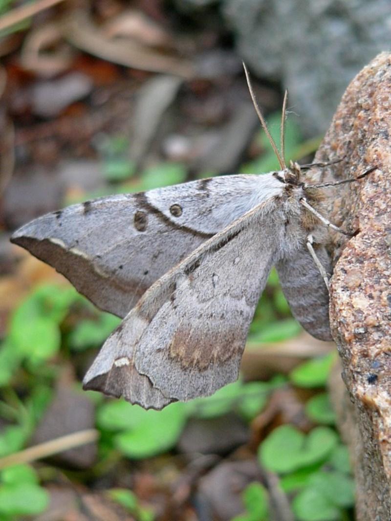 Chelepteryx chalepteryx at Brogo, NSW - 21 Apr 2009