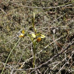 Diuris nigromontana (Black mountain leopard orchid) at Black Mountain - 2 Oct 2016 by ibaird