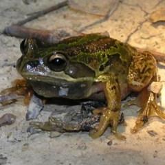 Litoria verreauxii verreauxii (Whistling Tree-frog) at Mulligans Flat - 4 Oct 2011 by MatthewFrawley