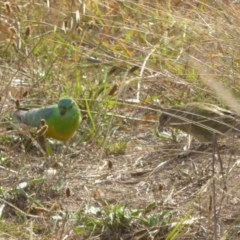 Psephotus haematonotus (Red-rumped Parrot) at Sth Tablelands Ecosystem Park - 20 Apr 2016 by AndyRussell