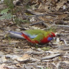 Platycercus elegans (Crimson Rosella) at Sth Tablelands Ecosystem Park - 30 Jul 2016 by AndyRussell