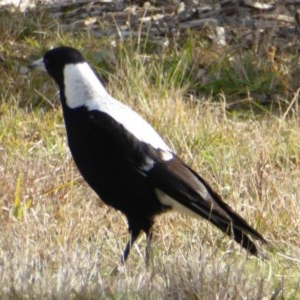 Gymnorhina tibicen at Sth Tablelands Ecosystem Park - 4 Jul 2016