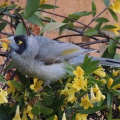 Manorina melanocephala (Noisy Miner) at Conder, ACT - 3 Oct 2016 by michaelb