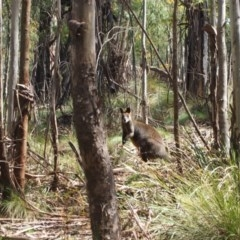 Wallabia bicolor (Swamp Wallaby) at Tidbinbilla Nature Reserve - 4 Oct 2016 by Speedsta