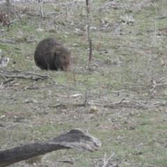 Vombatus ursinus (Common Wombat, Bare-nosed Wombat) at Burra, NSW - 21 Aug 2016 by RyuCallaway